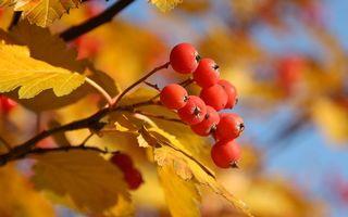 Заставки ягода, рябина, оранжевая, листья, желтые, ветви, природа