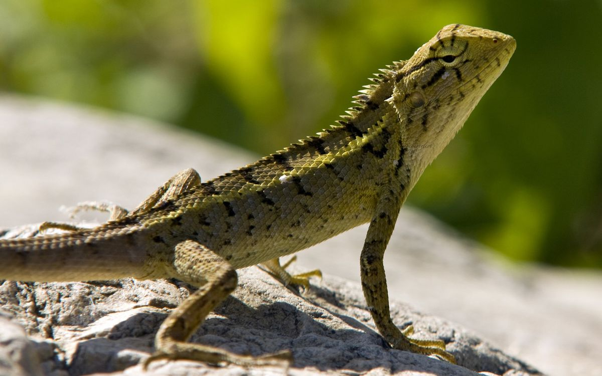 Photos for free lizard, stone, warms - to the desktop