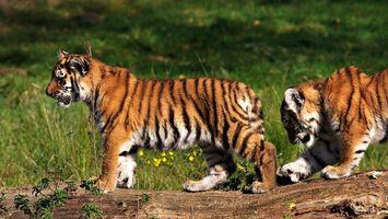 Фото бесплатно тигры, тигренки, котята