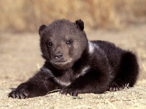 Photo free bear cub, small, lies