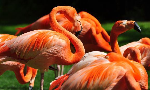 Заставки фламинго, розовый, стая