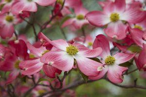 Бесплатные фото кизил,ветки,лепестки,макро,цветение,боке,цветы