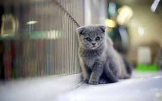 Бесплатные фото котенок,серый,маленький,ушки,квартира,решетка,кошки