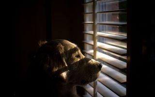 Фото бесплатно пес, окно, жалюзи