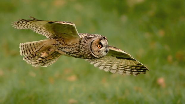 Photo free flying owl, owl, wings