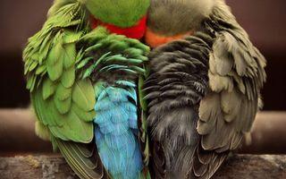Заставки попугаи, перья, крылья