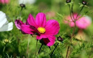 Фото бесплатно ромашки, клумба, лето