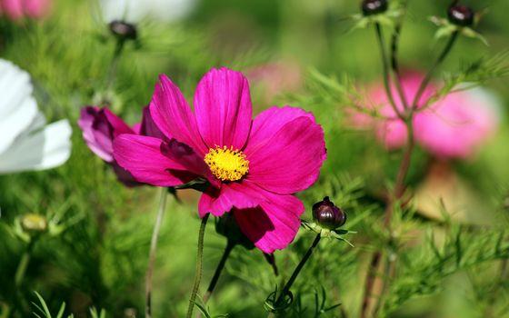 Бесплатные фото ромашки,клумба,лето,тепло,бутоны,листья,стебли,розовые,цветы