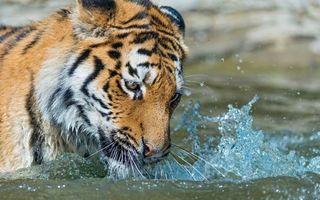 Бесплатные фото тигр,река,жажда,морда,усы,вода,брызги