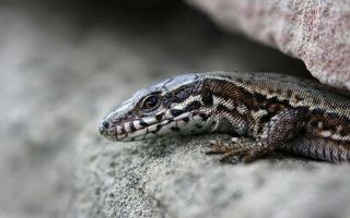 Обои ящерица, кожа, глаза, рот, лапы, камень, ползет, животные