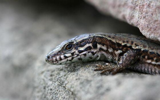 Фото бесплатно ящерица, кожа, глаза