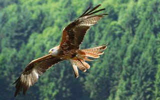 Фото бесплатно ястреб, полет, крылья