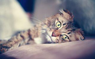 Бесплатные фото вислоухий,уют,кот