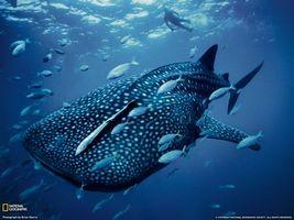 Фото бесплатно китова акула, океан, пливе