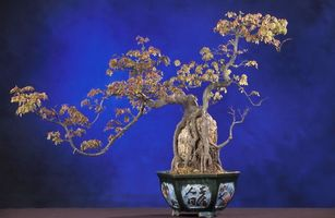 Обои бонсай, дерево, вазон, синій, японія, природа, цветы