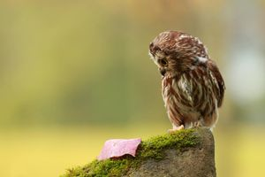 Photo free owl, leaf, look