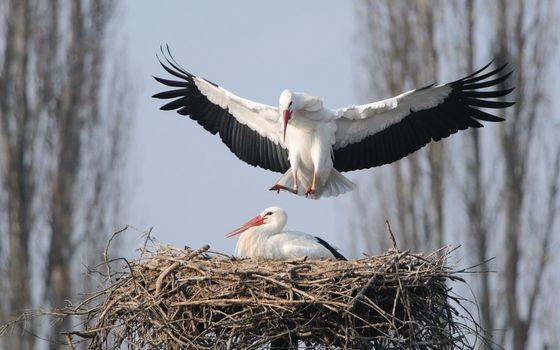 Фото бесплатно аист, гнездо, ветки