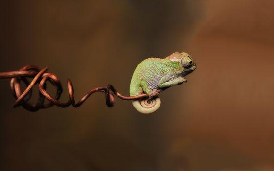 Фото бесплатно хамелеон, ящерица, край