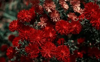 Фото бесплатно хризантемы, лепестки, бордовые