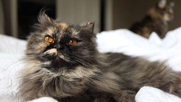 Обои кот, усы, глаза, отдых, взгляд, шерсть, постель, животные