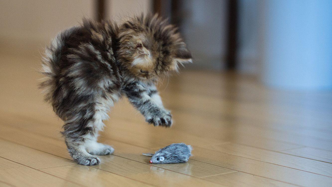 Фото бесплатно котенок, лохматый, темный, мышка, серая, лапы, животные, животные