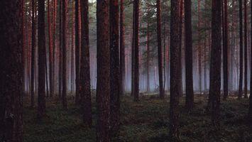 Бесплатные фото лес,трава,деревья,сосны,бор,туман,природа