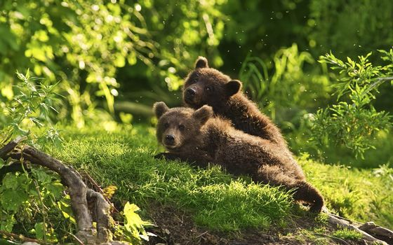 Photo free bears, bear cubs, brown