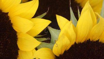 Обои подсолнухи, несколько, листья, желтые, ярко, красиво, еда