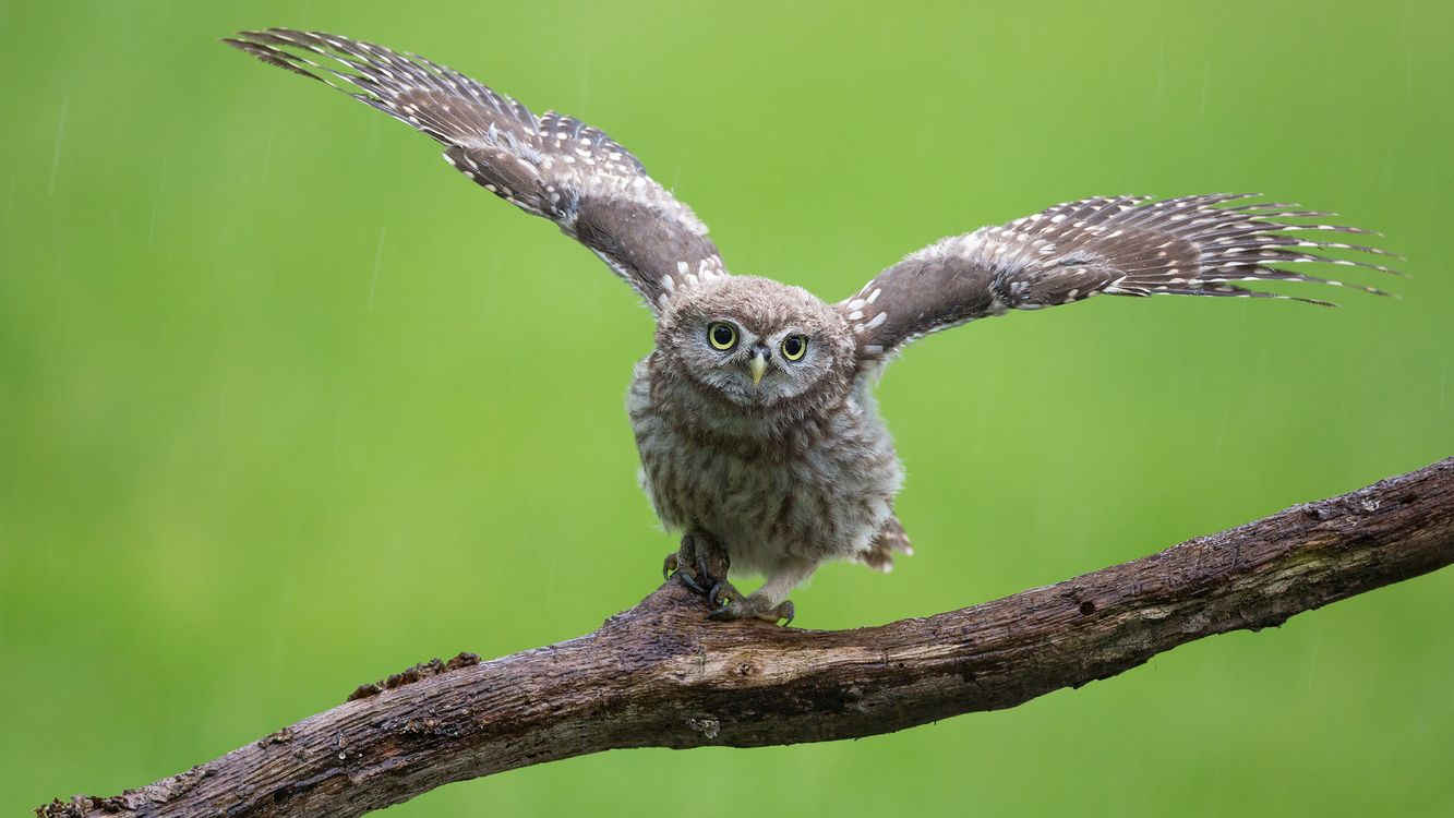 Free photo bird, owl, predator - to desktop