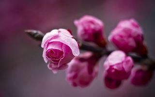 Обои розы, лепестки, стебель, шипы, подарок, бутон, фокусировка, цветы