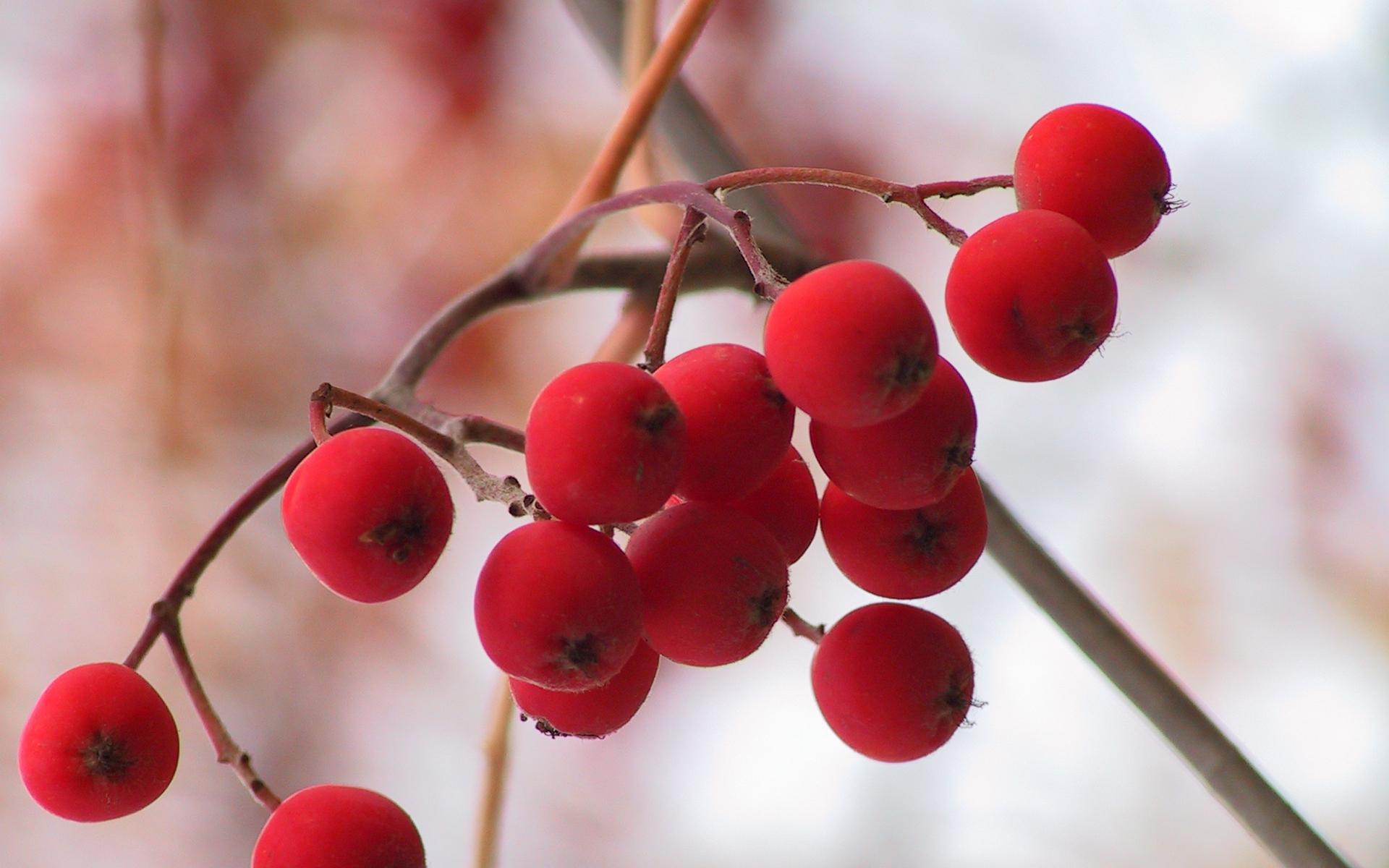 Обои рябина, ягоды, красные, урожай
