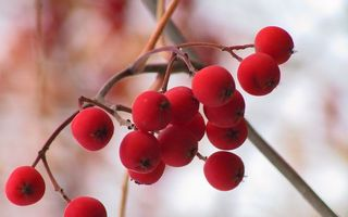 Photo free mountain ash, berries, red