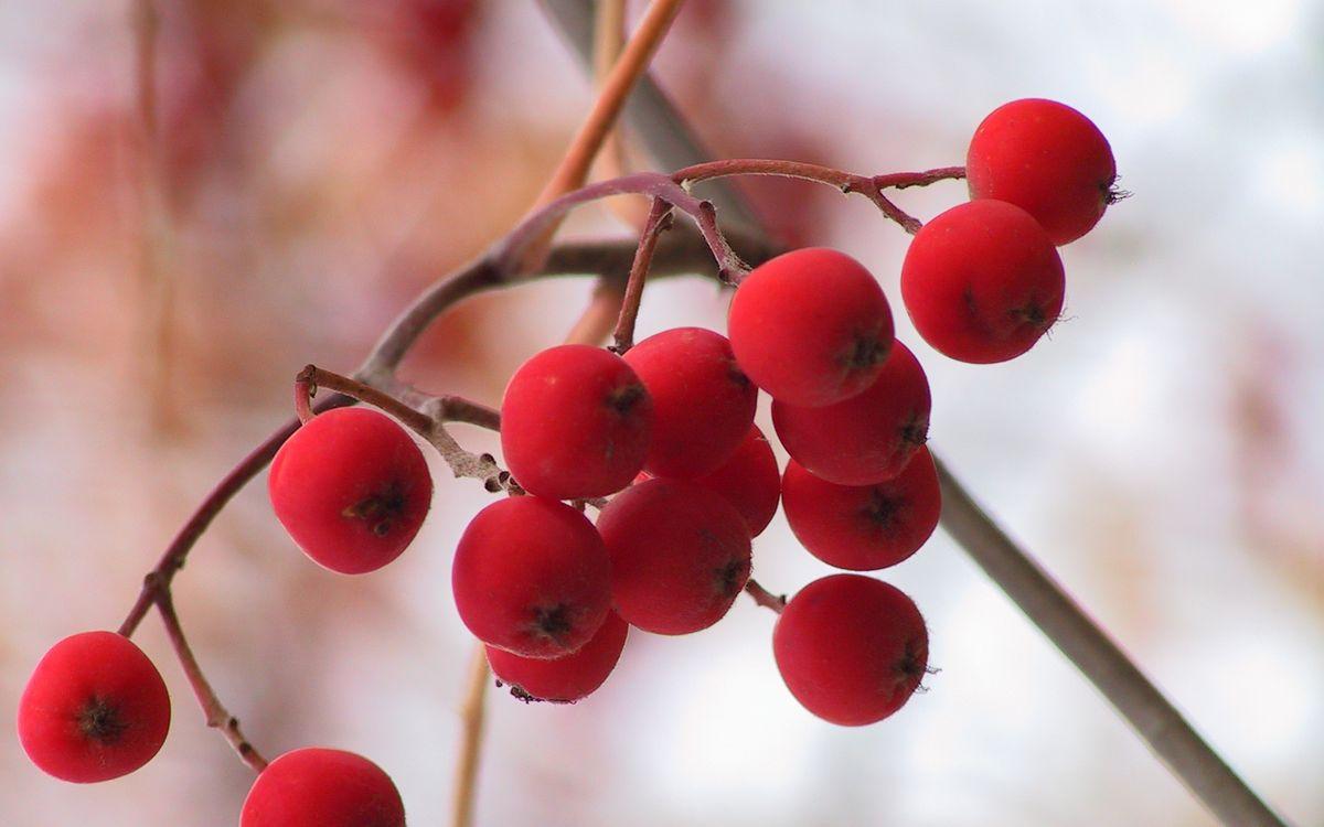 Обои рябина, ягоды, красные картинки на телефон
