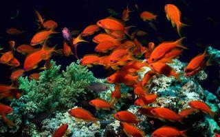 Бесплатные фото рыбы,красные,косяк,океан,подводный мир
