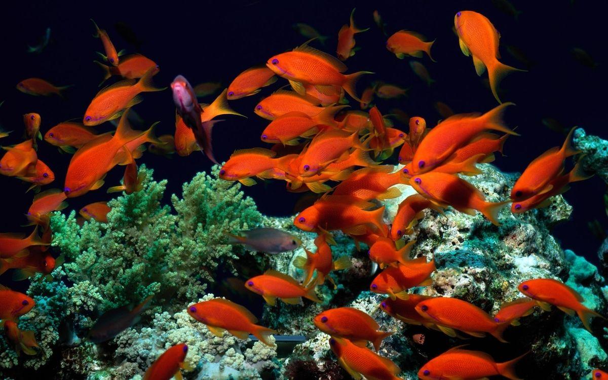 Фото бесплатно рыбы, красные, косяк - на рабочий стол
