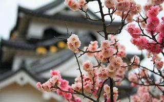 Заставки сакура,вишня,цветки,цветение,лепестки,ветки,розовая