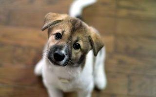 Бесплатные фото щенок,пес,глаза,взгляд,сидит,маленький,миленький