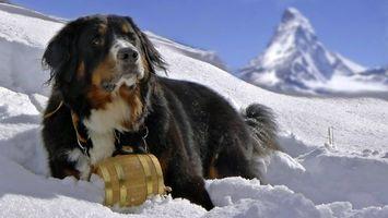 Бесплатные фото собака,глаза,шерсть,снег,лапы,нос,горы