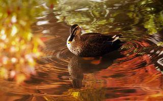 Фото бесплатно утка, ручей, вода
