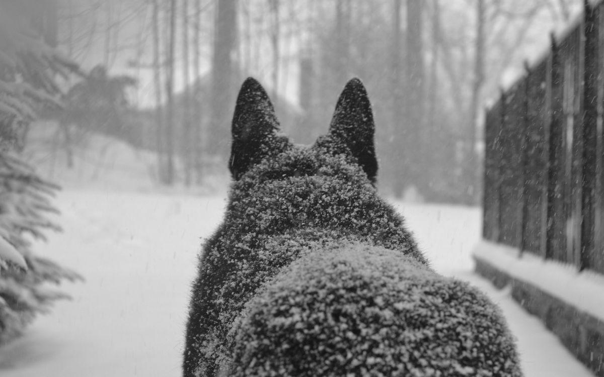 Фото бесплатно волк, спина, уши, зима, сугробы, снег, лес, собаки, собаки
