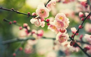 Заставки природа, цветение, ветви