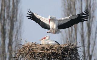 Бесплатные фото аисты,клювы,крылья,перья,лапы,гнездо