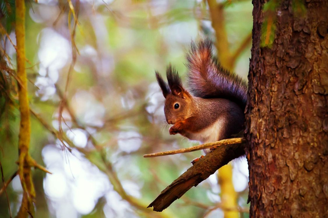 Photos for free squirrel, tree, nut - to the desktop