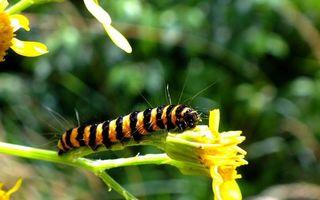 Обои гусеница, яркая, полосатая, мохнатая, лапки, усики, глаза, цветок, лес, трава, зелень, насекомые