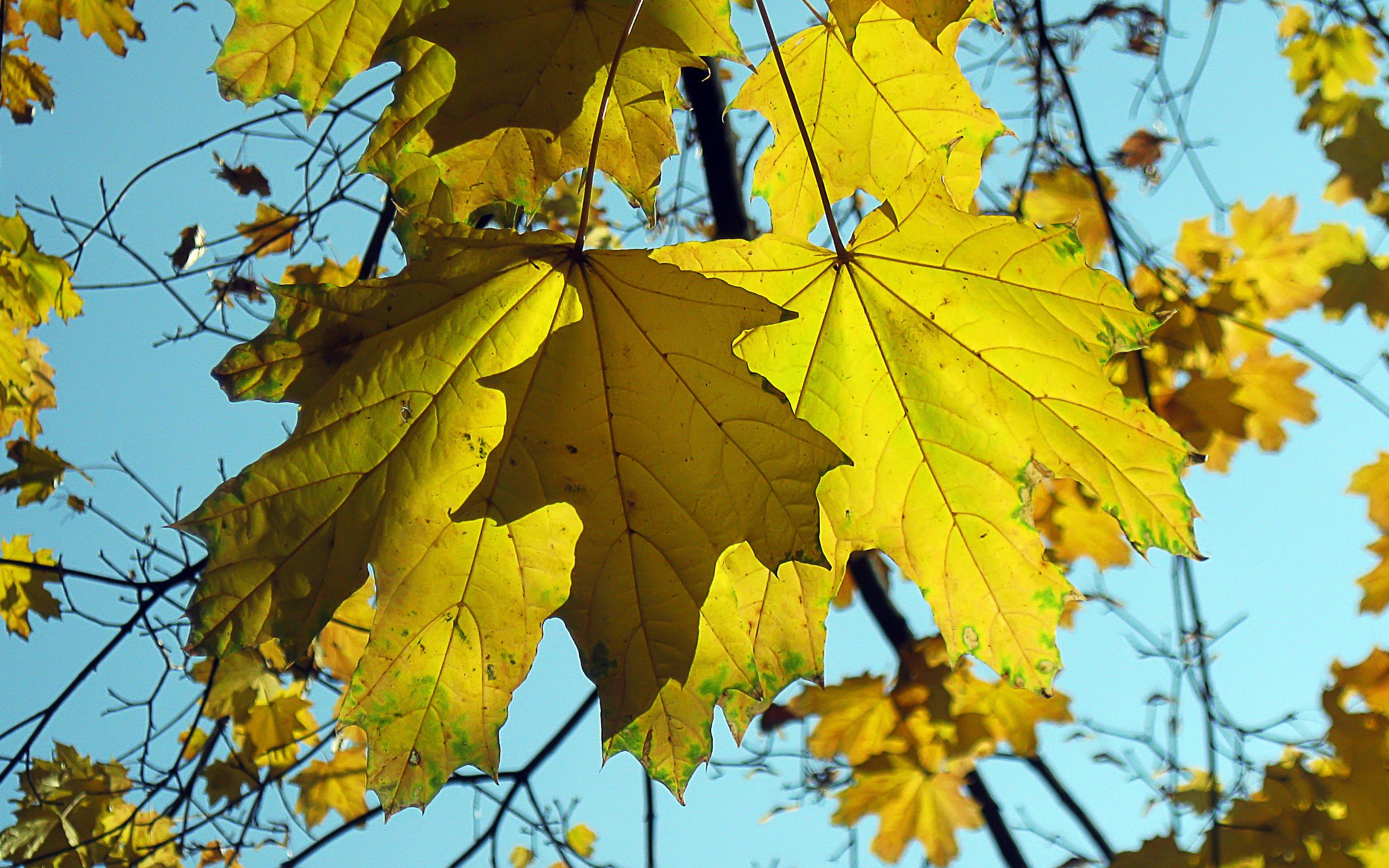 Обои клен, листок, ветка, осень