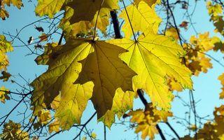 Бесплатные фото клен,листок,ветка,осень,листопад,небо,голубое