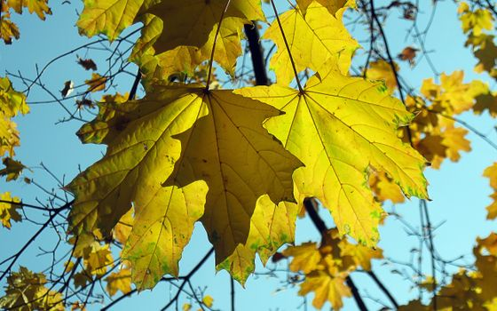Photo free maple, leaf, branch