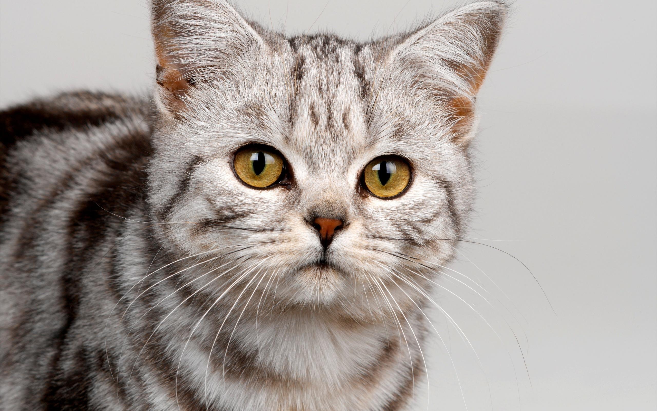 Обои кот, раскраска, взгляд, моська