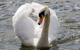 Photo free swan, white, beak