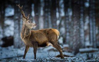 Бесплатные фото олень,рога,морда,шерсть,лес,снег,животные